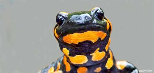 O que a salamandra come.