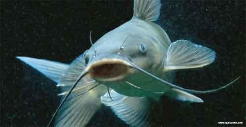 O que come o peixe bagre.