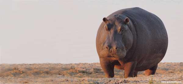 O que os hipopótamos comem.