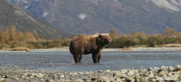 O que os ursos de Kodiak comem.