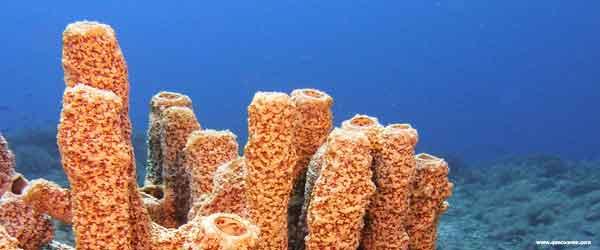 O que a esponja do mar come.