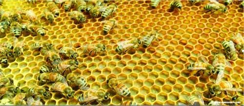 O que as abelhas comem.