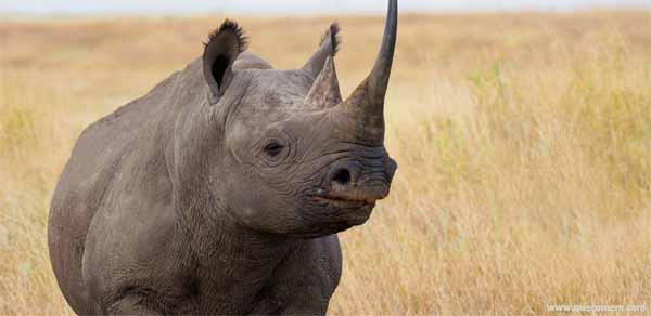 O que os rinocerontes comem.
