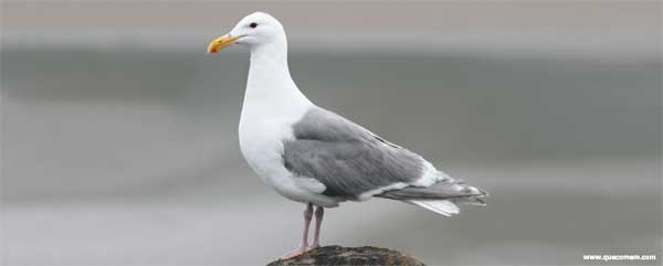O que as gaivotas comem.