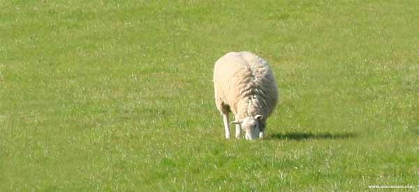 O que as ovelhas comem.