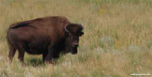 O que o bisão come.