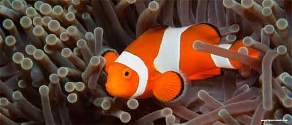 O que o peixe-palhaço come.