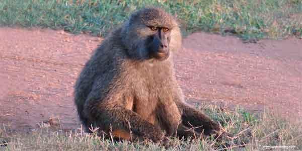 O que os babuínos comem.