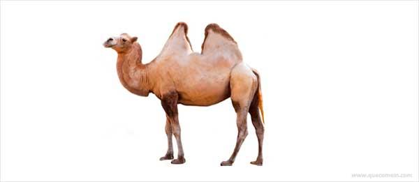 O que os camelos comem.