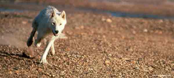 O que os lobos comem.