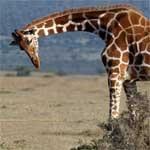 Descubra o que as girafas comem.