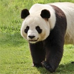 Descubra o que os ursos pandas comem.