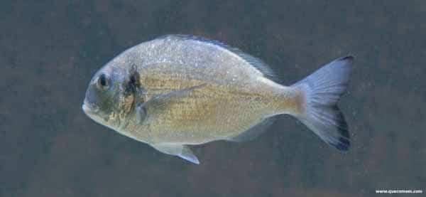 O que o peixe dourada come.