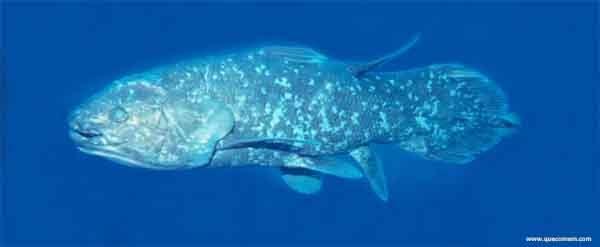 O que os celacantos comem