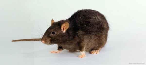 O que os ratos comem.