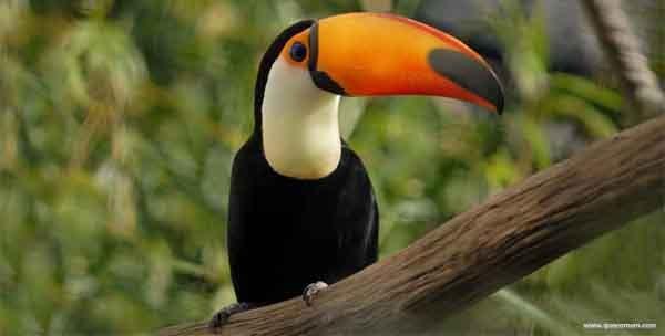 O que os tucanos comem.