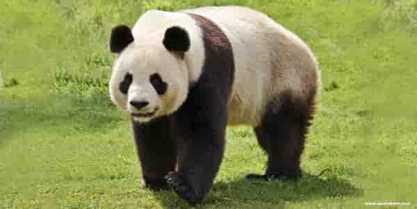 O que os ursos pandas comem.
