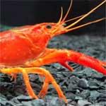 Descubra o que as lagostas comem