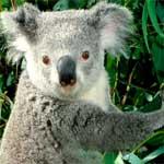 Descubra o que os coalas comem