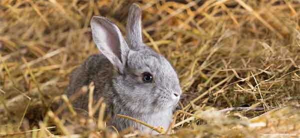 Meu coelho se recusa a comer feno