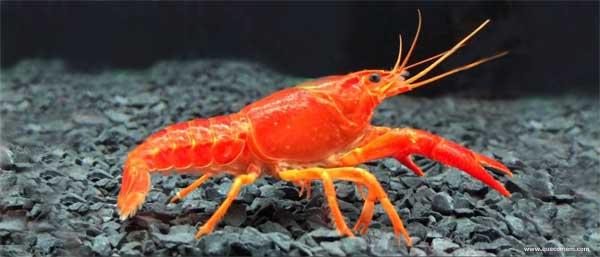 O que as lagostas comem
