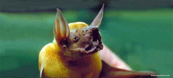 O que o morcego pescador come