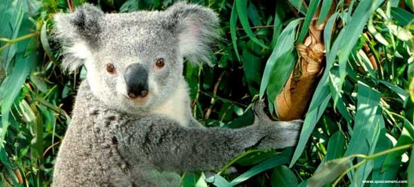 O que os coalas comem