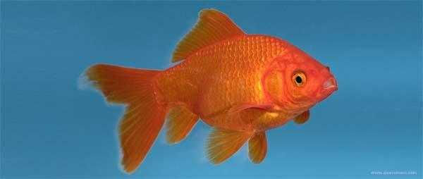 O que o peixinho dourado come