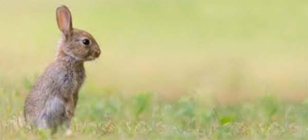 O que os coelhos comem na natureza