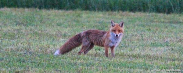 O que as raposas vermelhas comem
